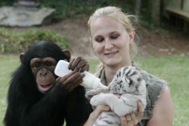 Šimpanzė įsivaikino tigriukus (video)