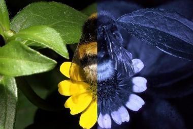 Mokslininkai atskleidė, kaip bitės mato