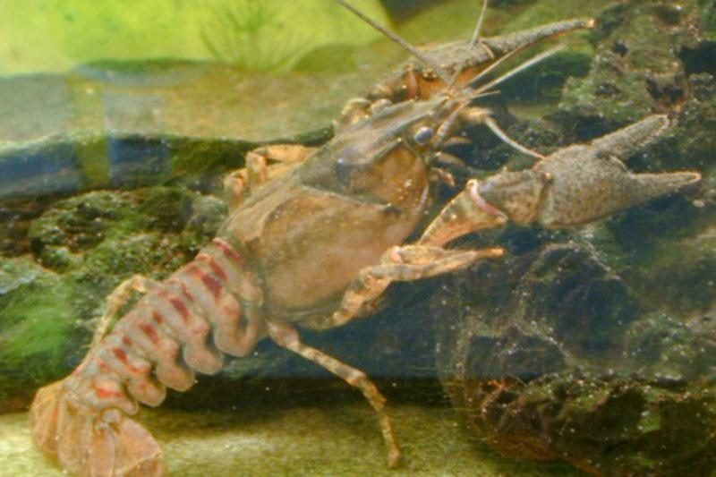 Žvejyba Vilnelėje: invaziniai vėžiai kimba vos užmetus kabliuką