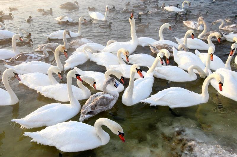 Kodėl šiuo metu nereikėtų šerti vandens paukščių?
