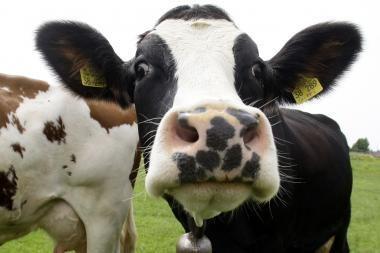 Ant automobilio užkrito karvė