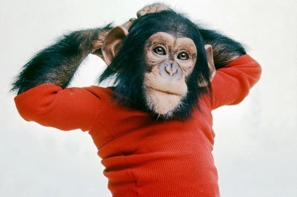 Šimpanzė pamėgo pornografinius filmus