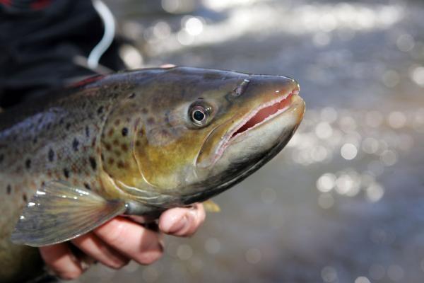 Neringoje šviežios žuvies rasti vis sunkiau