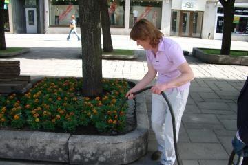 Laisvės alėjoje gėlės laistomos dažniau
