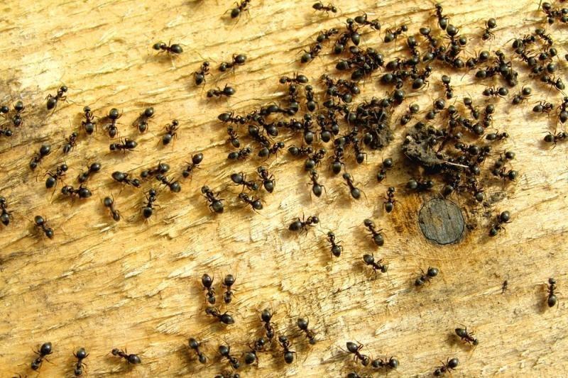 Neringiškius puola skruzdės