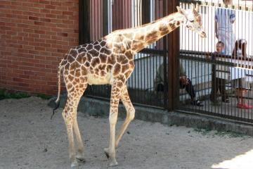 Kaune žirafos pasikarti negalėtų
