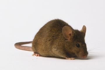 Indijos valdžia žmones ragina valgyti žiurkes