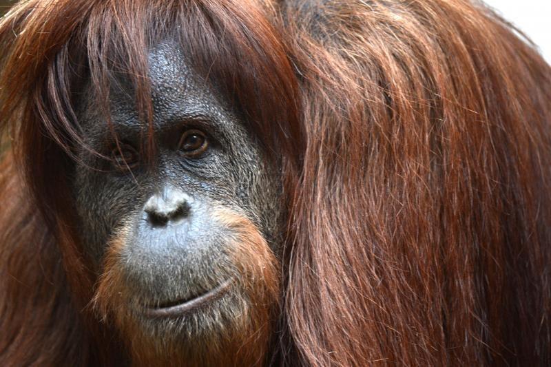 JAV orangutanai galės naudotis planšetiniais kompiuteriais