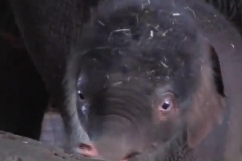 Zoologijos sodo žvaigždė - mažasis drambliukas