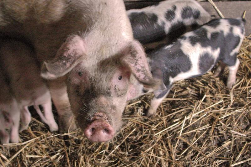 A.Baravykas: kiaulių augintojai dirbtinai uždaryti vietos rinkoje