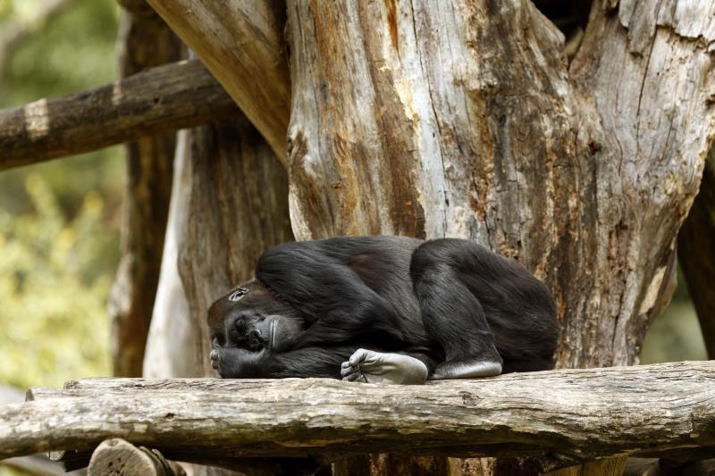 Tokijo zoologijos sode pasaulį išvydo gorilos jauniklis