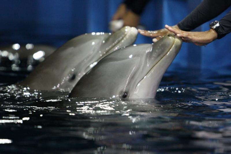 Į Jūrų muziejų iš Graikijos turėtų grįžti delfinai