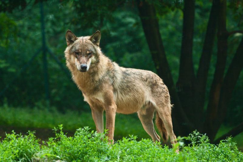 Kiek šuns ir vilko hibridų gyvena Lietuvos miškuose?