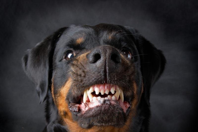 Aiškinamasi, ar šunų agresyvumas slypi genuose