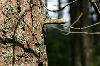 Kaune ant dviejų automobilių užvirto medis
