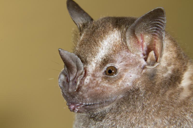 Vietname aptikti keisti naujos rūšies šikšnosparniai