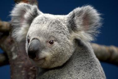 Australijoje koala užsuko į barą... ir užsnūdo