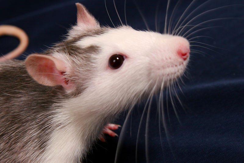 Pelių patinėliai moka melodingai čiulbėti