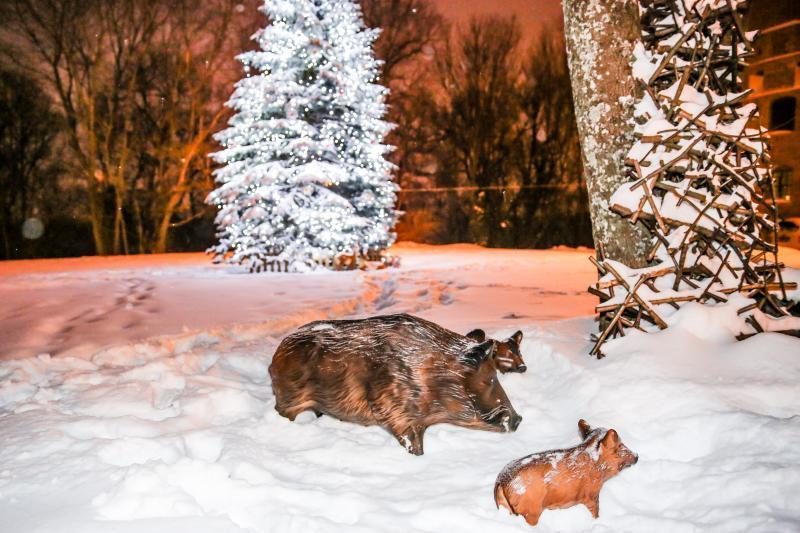 Prieš šventes Raudondvaryje apsigyveno miško gyvūnai