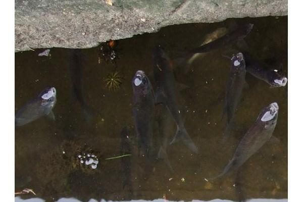 Žuvys iš Šyšos perkeliamos į Atmatą, teršėjas jau žinomas (papildyta)