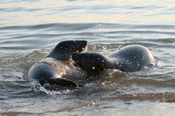 Šeši ruoniukai paleisti į Baltijos jūrą