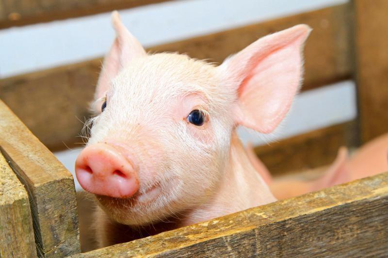 Rusija ir Lietuva nesusikalba dėl kiaulių eksporto atnaujinimo