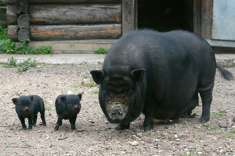 V. Mazuronis: darome viską kiaulėms ir šernams nuo maro apsaugoti