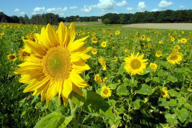 Saulėgrąžų auginimas tapo hobiu ir verslu