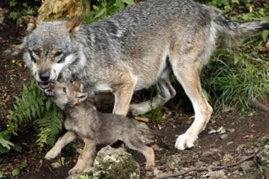 Vilkai logika įveikė šunis