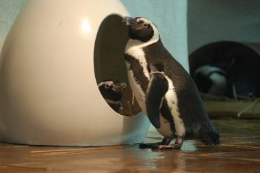 Vienintelio šiais metais pingvinuko nepavyko išsaugoti