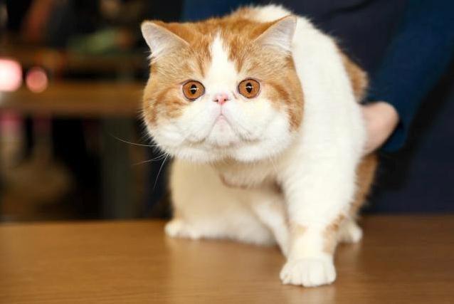 """""""Megoje"""" katės varžysis dėl ilgiausios uodegos titulo"""