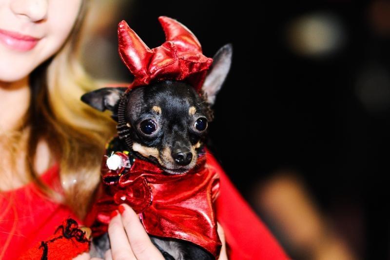 Helovino kostiumų konkurse bus vertinamos ir šunų šukuosenos
