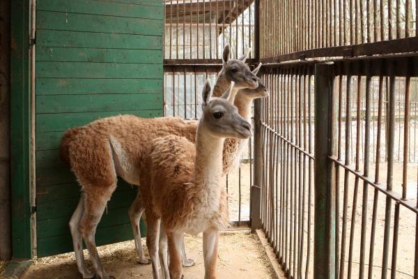 Zoologijos sodas žiemą: sniego labiausiai laukė Kasparas