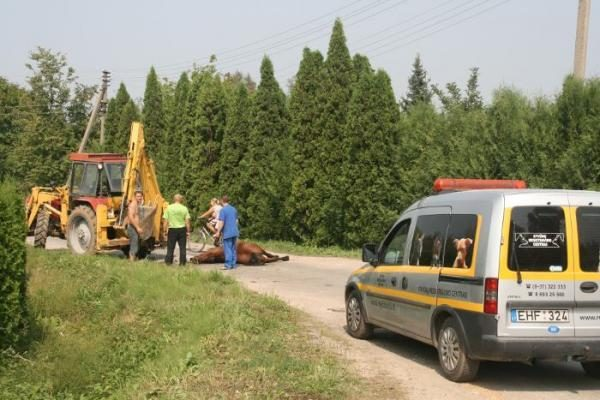 Kaune per avariją sužeistas arklys gatvėje išgulėjo 8 valandas (papildyta)