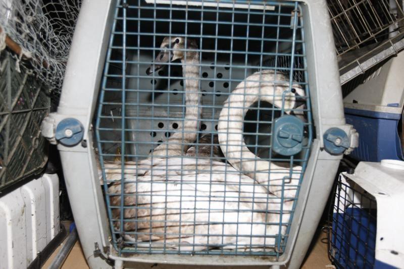 Uostamiestyje - gulbės gelbėjimo operacija