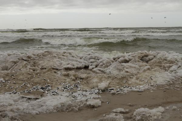 Negyvas žuvis Smiltynėje renka talkininkų pajėgos (papildyta)