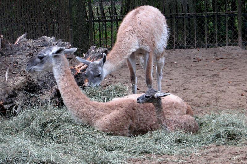 Iš zoologijos sodo namo galima parsivesti ir guanaką