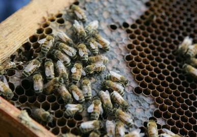 Pavogtas visos vasaros bičių darbas