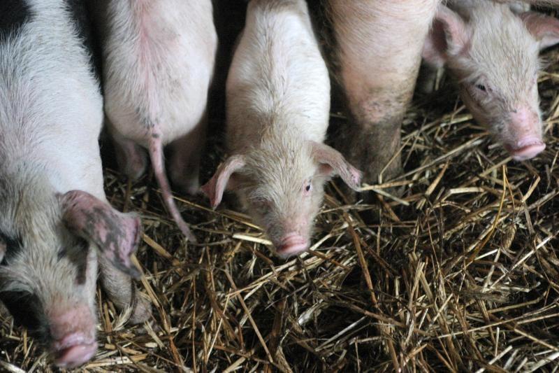 Rusija atšaukė draudimą Lietuvai eksportuoti veislines kiaules