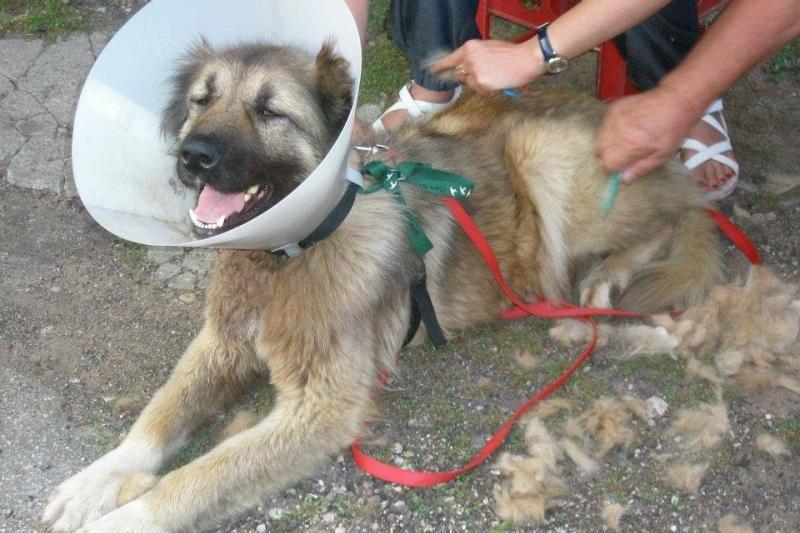 Gyvūnų globėjai ieško peiliu į kaklą sužalotos aviganės šeimininkų
