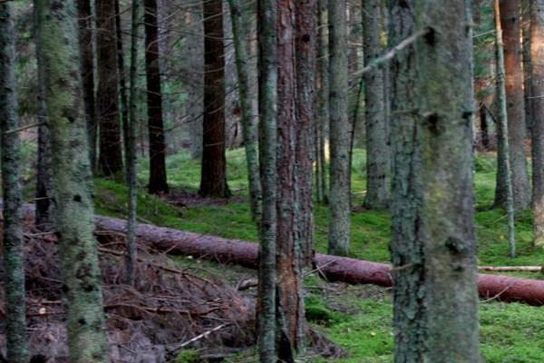 Kauno rajone rastas medžių prispaustas negyvas vyras