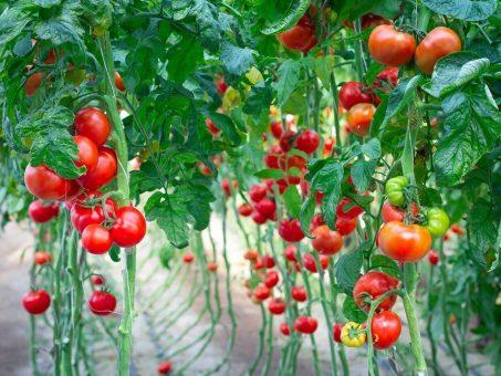Skelbimas - Darbas daržovių šiltnamiuose Olandijoje