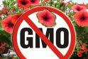 Išsisuko: Klaipėdos viešuosiuose gėlynuose permainų nebus, nes genetiškai modifikuotos petunijos uostamiestyje nežydi.