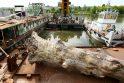 Iš Kauno išplaukęs milžiniškas ąžuolas Nidoje virs skulptūromis