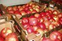 Gėrybės: obuoliai jau laukia nutarusiųjų neberūkyti.