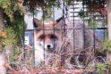 Susidraugavo: Klaipėdos priemiestyje netoli miško gyvenantis Raimundas nuo rudens savo sodyboje kasdien sulaukia štai tokio simpatiško svečio.