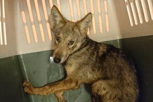 Vilnietis pardavinėjo iš miško parsineštus vilkiukus