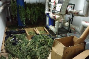 Kanapes augino namo rūsyje: rasta per 3 kg narkotikų