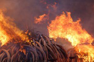 Kenija užkūrė didžiausią pasaulyje dramblio kaulo laužą
