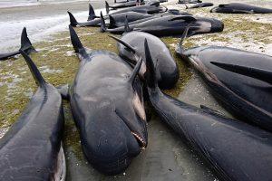Naujojoje Zelandijoje – masinė banginių žūtis